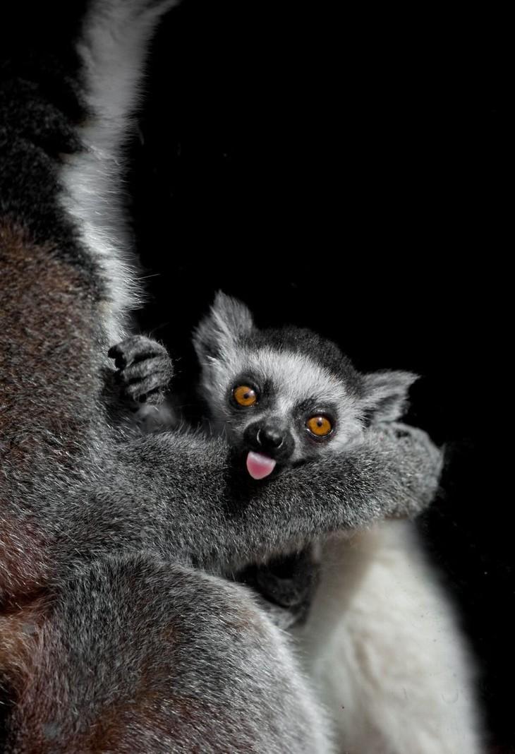 A impactante beleza dos animais selvagens - lêmur