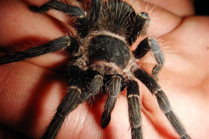 Por Que Não Devemos Matar Aranhas - tarântula
