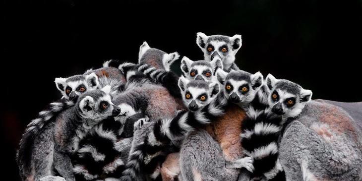 A impactante beleza dos animais selvagensm - lêmures