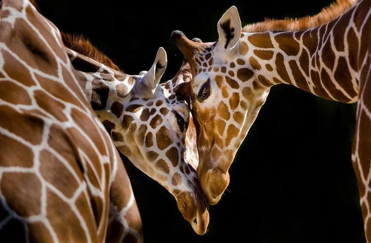 A impactante beleza dos animais selvagens - girafas