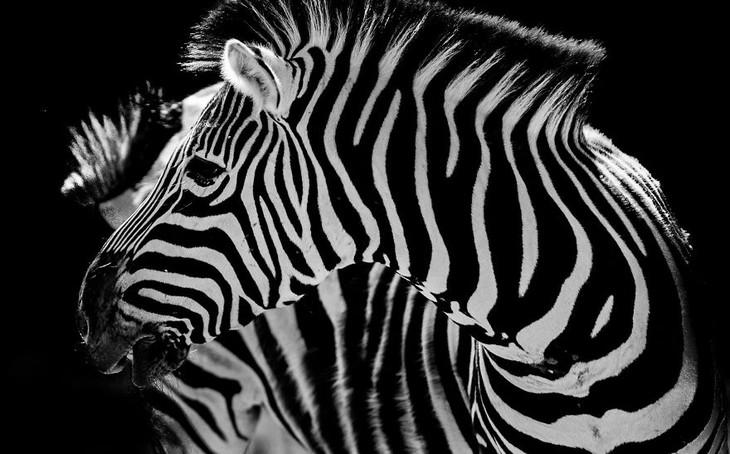 A impactante beleza dos animais selvagens - zebras