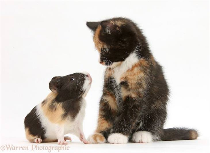 Roubo de identidade gato e porquinho da índia