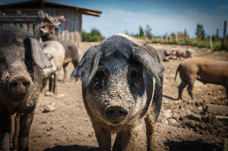 Fatos e mitos sobre animais porcos sujos