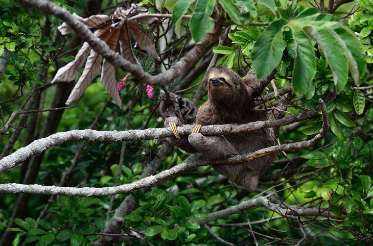 Fatos e mitos sobre animais preguiças são preguiçosas