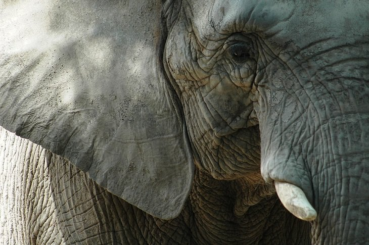 Fatos e mitos sobre animais elefantes
