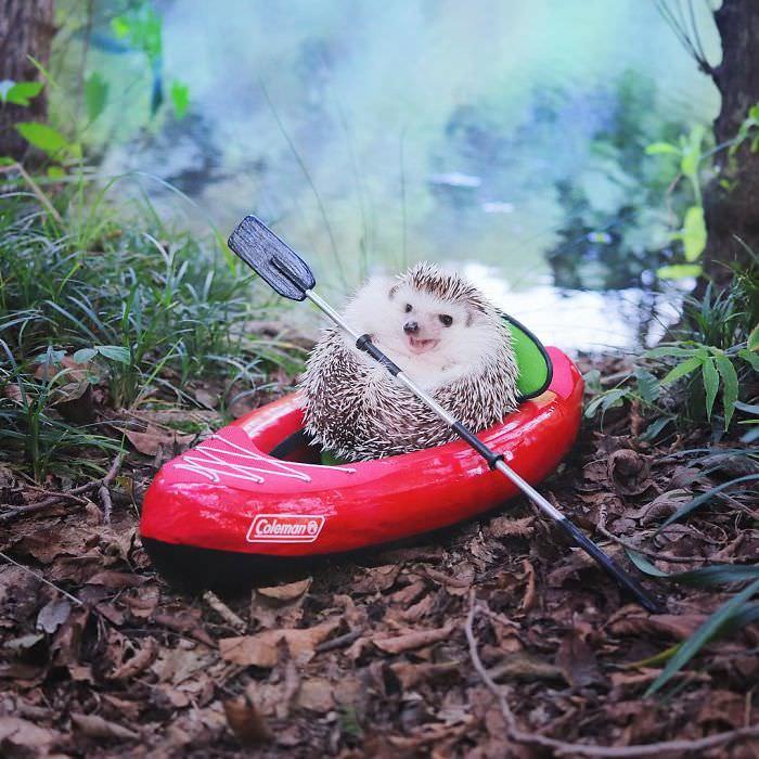 Porco-espinho faz camping