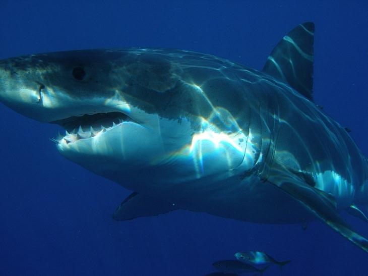 7 Sentidos que animais têm  tubarão