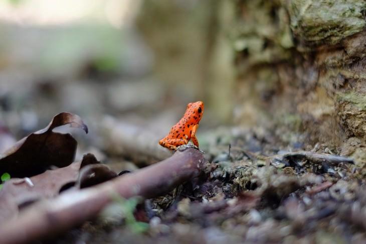 Macrofotografia da natureza  pequena rã laranja