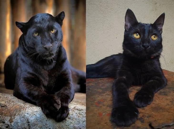 Panteras e gatos pretos