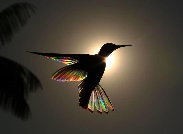 Asas do beija-flor em prisma