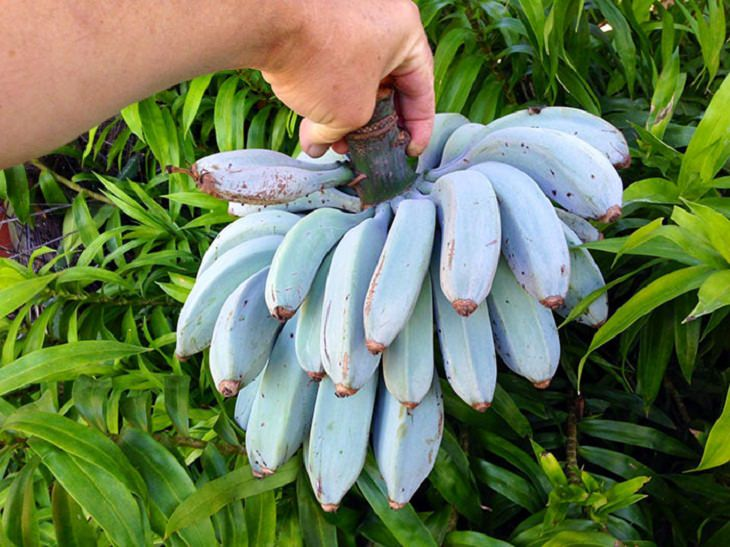 Rare Pictures Blue Java Banana