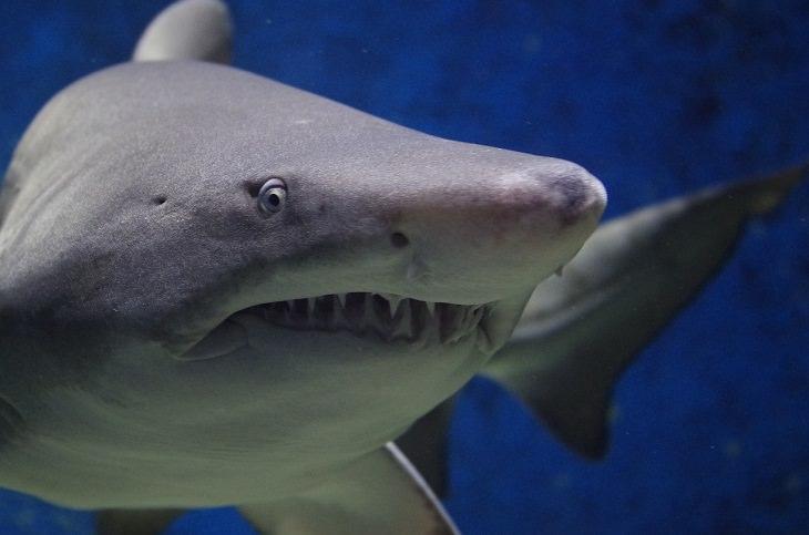 Fatos fascinantes sobre tubarões