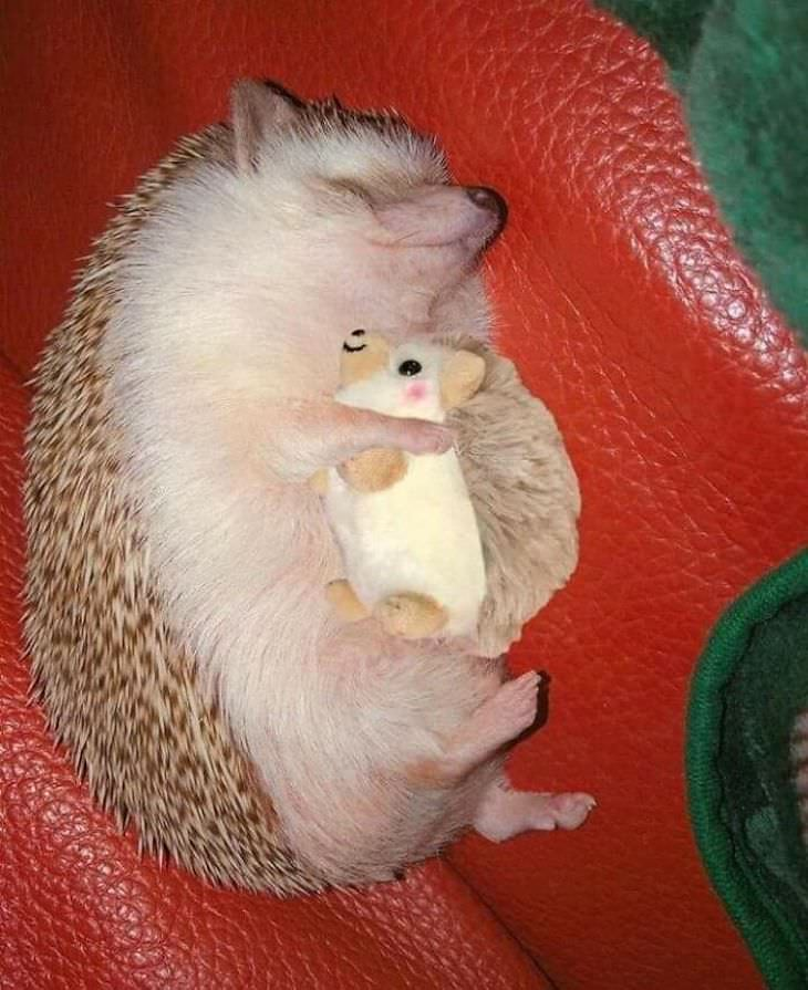 Heart Melting Photos of Pets & Their Favorite Toys, hedgehog