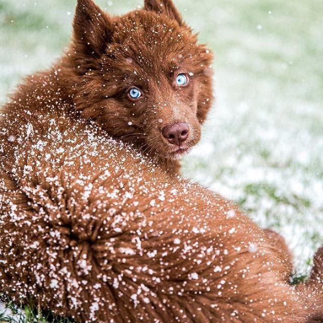 Husky Siberiano Quoi