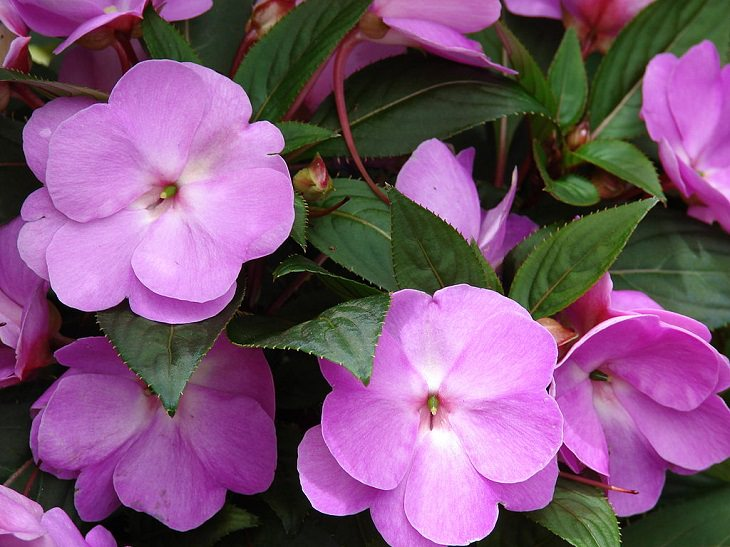 Beautiful and colorful flowers for all seasons that grow and bloom in shade and are shade-tolerant, impatiens
