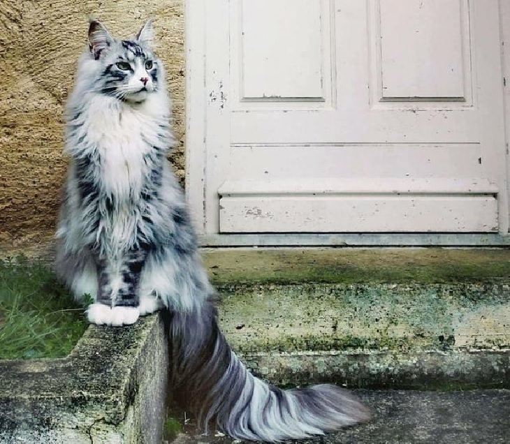 Photographs of supermodel cats in front of the camera, Grey and white cat with long tail sitting in front of a door