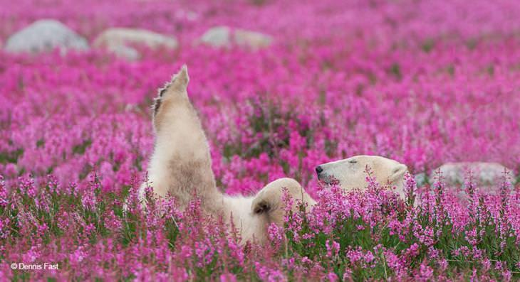 Ursos polares e flores