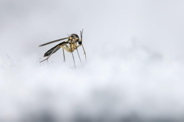 Fatos sobre as cores mosquito