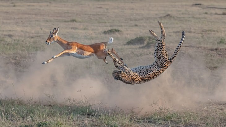Big Picture 2020 Vencedor da Vida Selvagem Terrestre: 'Guepardo Caçando no Maasai Mara', de Yi Liu