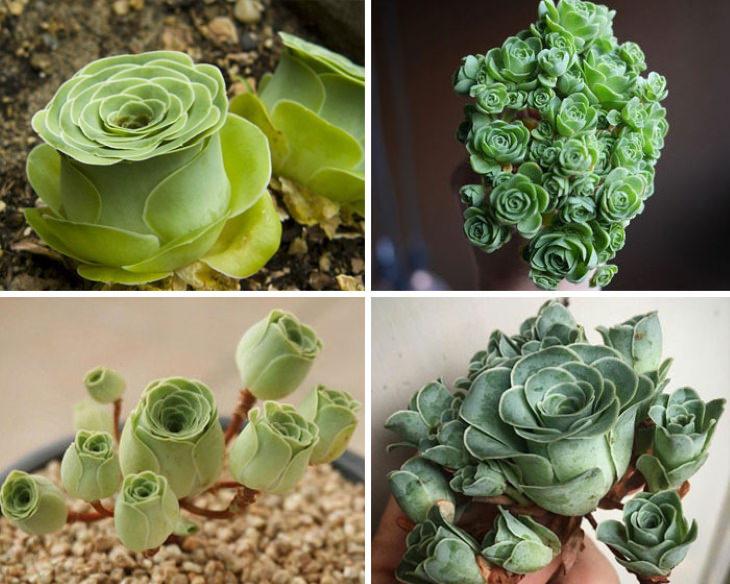 Suculenta  Greenovia dodrantalis