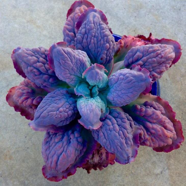 Suculenta Echeveria Barbillion