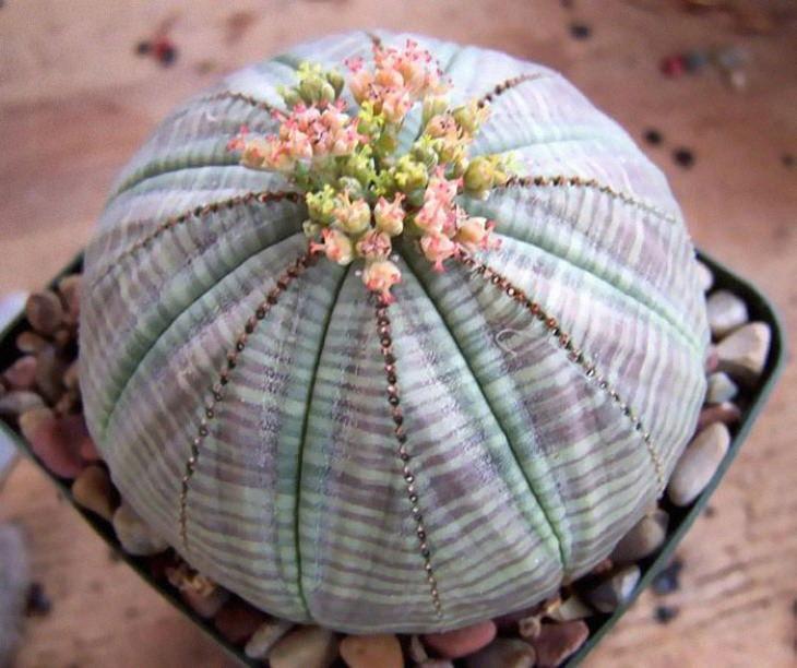 Suculenta Euphorbia obesa