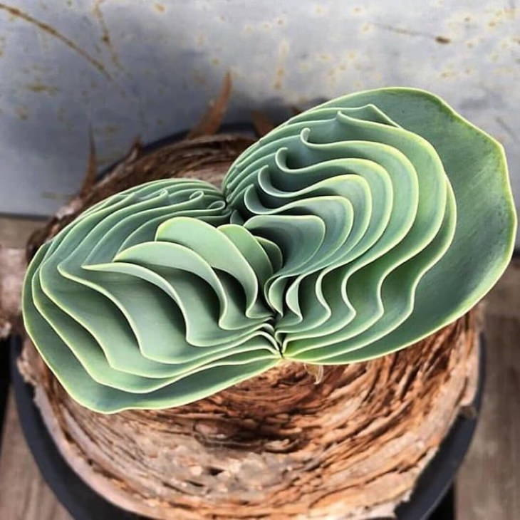 Suculenta  Boophone Haemanthoides