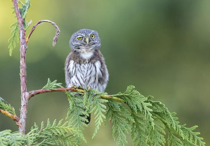 """""""Noite Agitada"""", de Anthony Bucci - uma coruja-pigmeiado norte na Colúmbia Britânica, Canadá"""