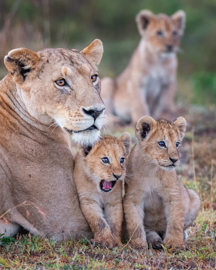 """Comedy Wildlife Preview 2020 """"Nossa!"""" deYaron Schmid- Filhotes de leão e sua mãe em Masai Mara, Quênia"""