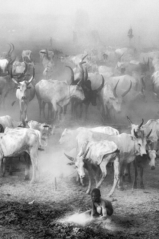 O campo de gado Mundari Trevor Cole, do Reino Unido