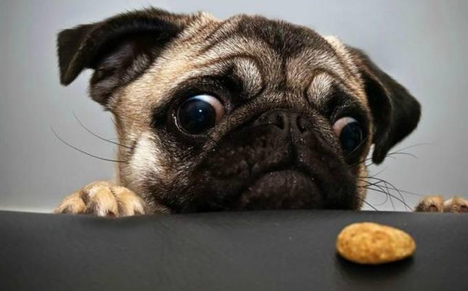 pug e cookie