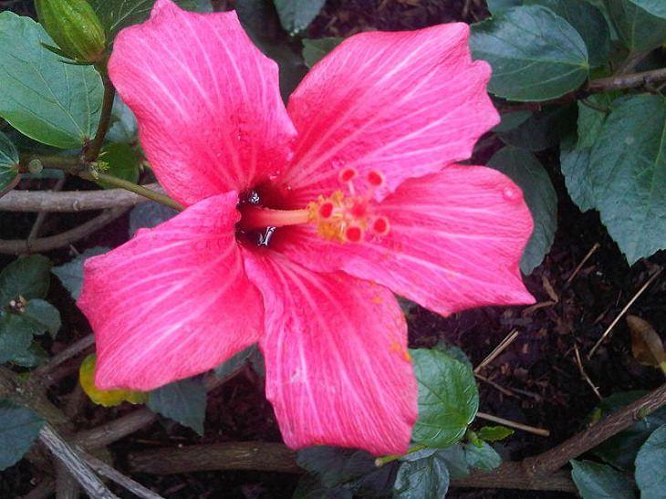 Diferentes tipos de hibiscos