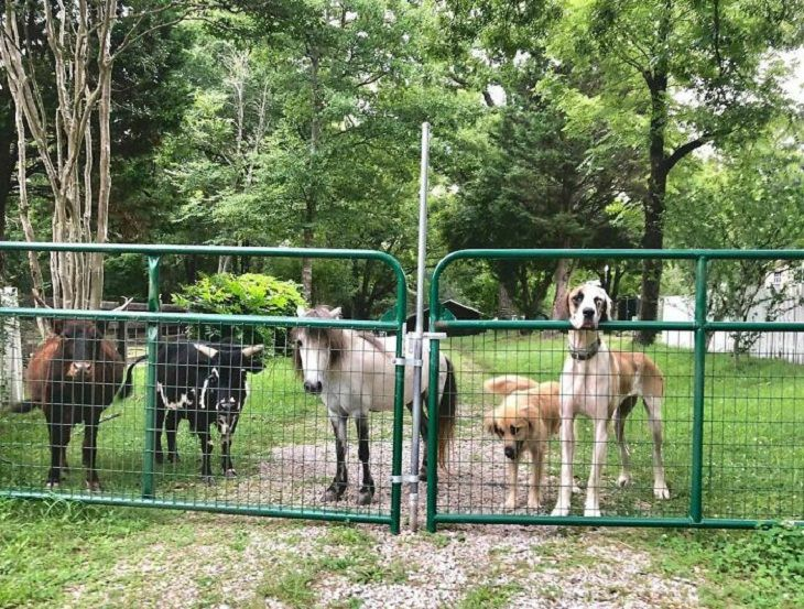 Abandoned Animals farm, dogs and cows