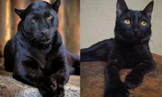 Gatos pretos são panteras em miniatura