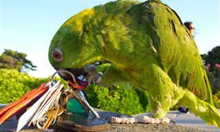 Piada do Dia: O Papagaio e o Ladrão Atrevido!