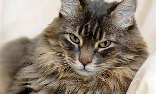 Se Você Fosse Um Gato, Qual Seria Sua Raça?