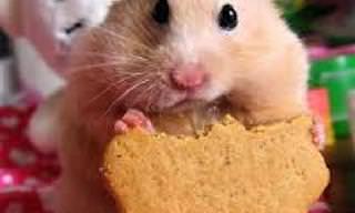Estes Hamsters Deixarão Seu Dia Mais Doce!