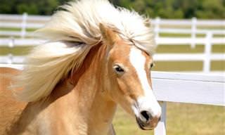 Esses Cavalos e Suas Belas Crinas...