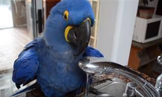 Adorável: Este Papagaio Sabe BEM o Que Quer!