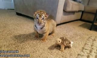 Assista os mais fofos bebês tigrezinhos