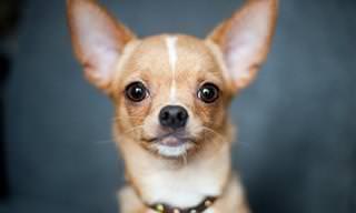 Piada do Dia: O Chihuahua Esperto