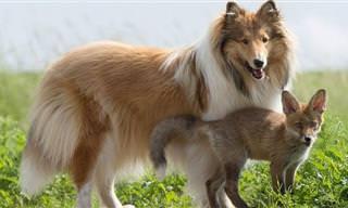 A história da raposa orfã e do cão amigão