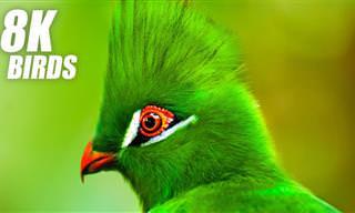 VÍDEO ULTRA HD: Os pássaros mais bonitos do planeta