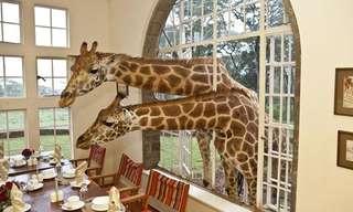 Conheça Giraffe Manor!