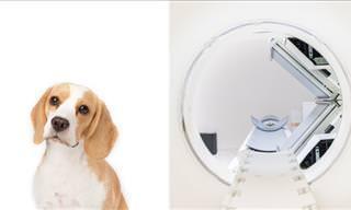 Cães Podem Farejar Doenças?