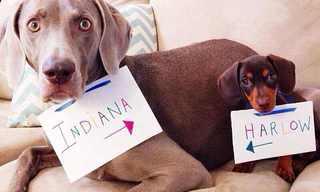 Harlow e Suas Irmãs Caninas