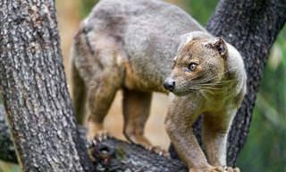 Estes Animais Vivem Só Em Madagáscar