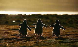 As 20 Mais Belas Fotos de Pinguins Que Você Já Viu!