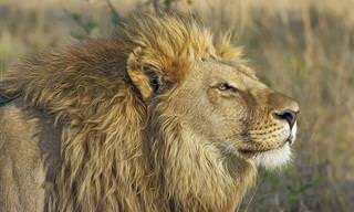 Para Relfetir: O Medo Irracional do Leão