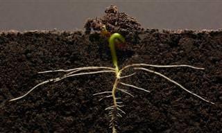 Impressionante: É assim que a semente de feijão cresce!